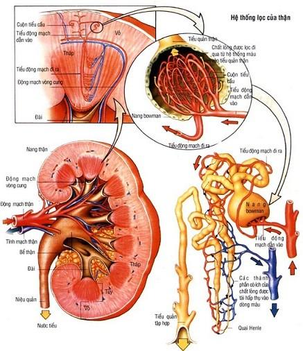 Trong bệnh lý suy thận, chức năng lọc máu đào thải độc tố bị suy giảm