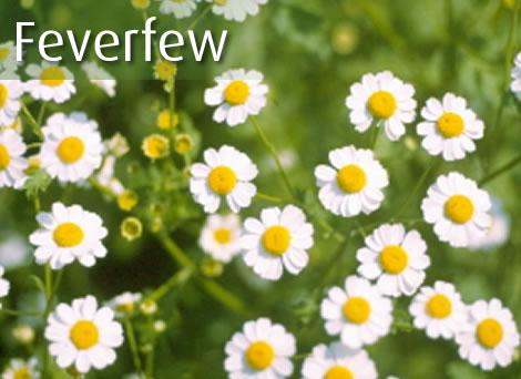 Thảo dược Feverfew - họ Cúc làm giảm giải phóng serotonin, kháng histamin, giảm tần suất và cường độ cơn đau